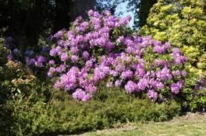 rhododendron en fleur